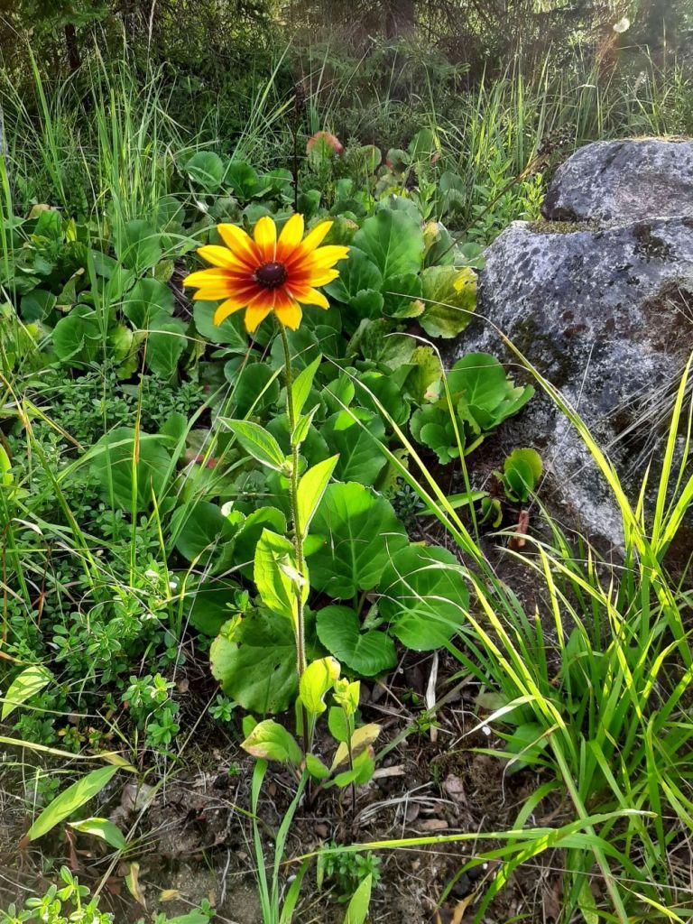 Kuva päivänhattu-kukasta